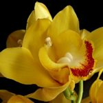 "Cymbidium ""Lovely Moon Crescent"""