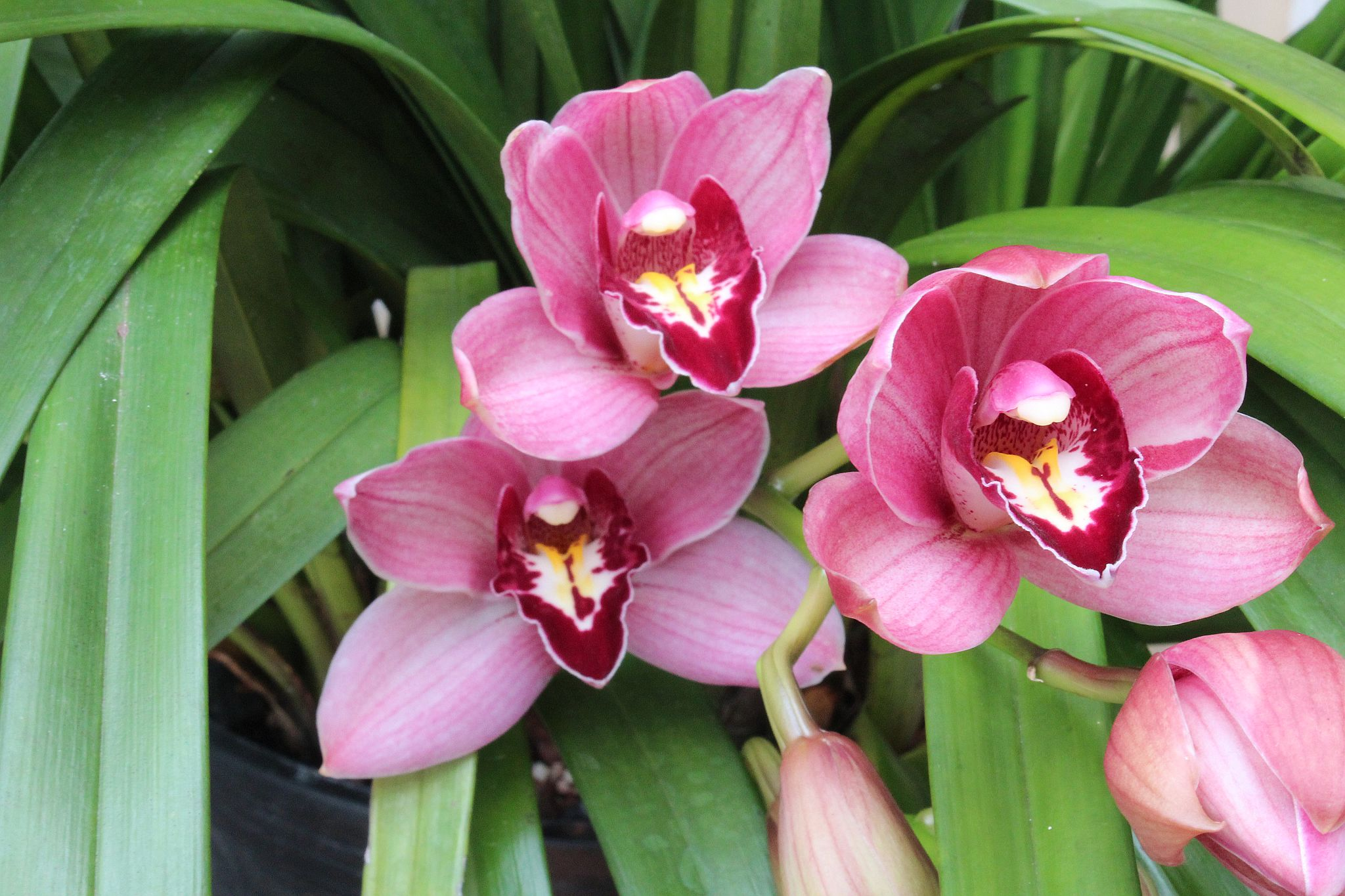 "Cymbidium ""Bright Star"""
