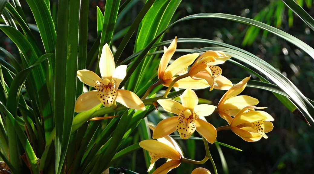 "Cymbidium ""Butter Brickle"""
