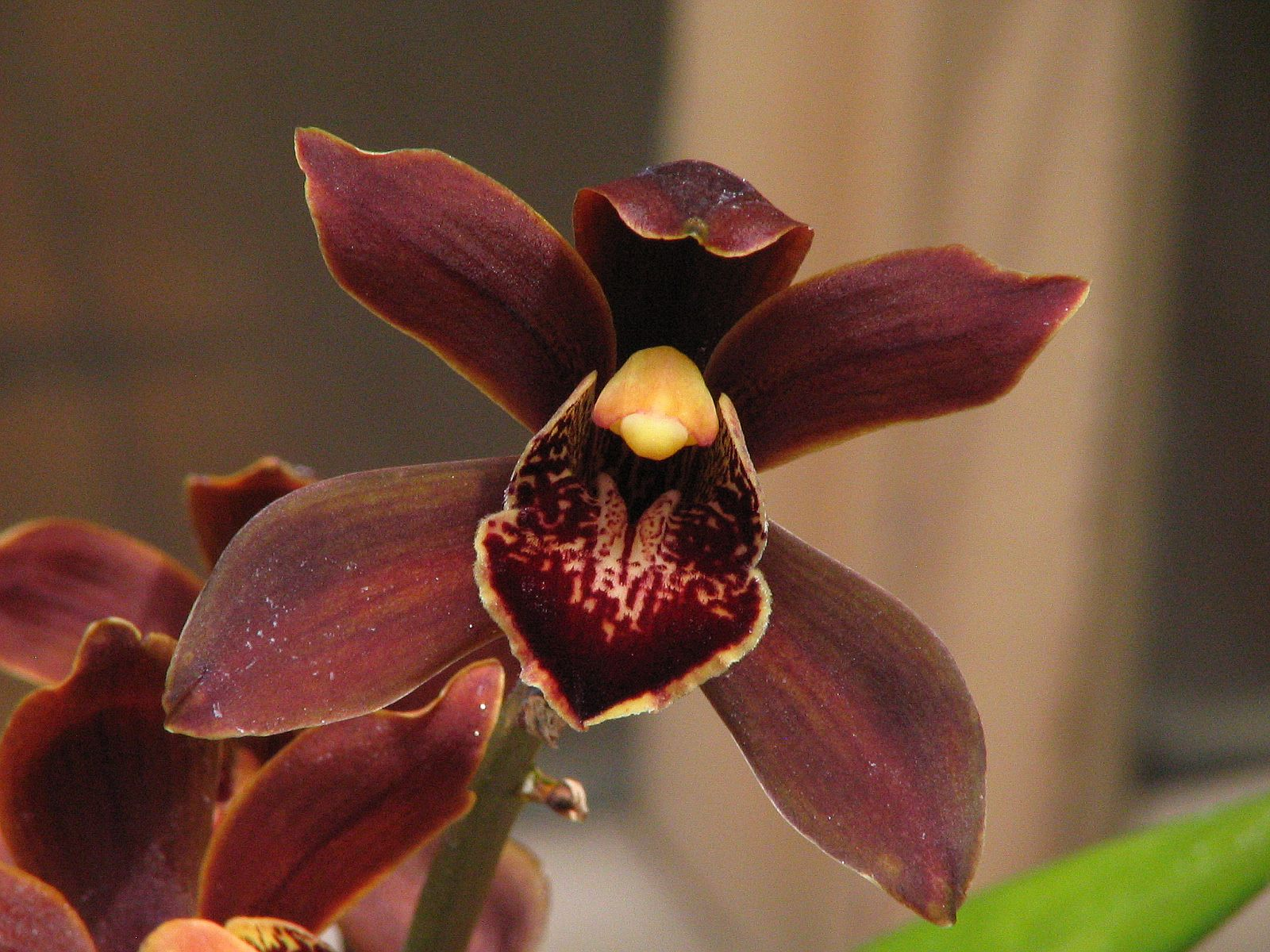 "Cymbidium ""Florida Swamp"""