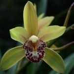 "Cymbidium ""Peter Baby"""