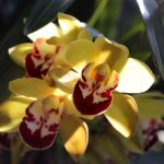 "Cymbidium ""Stonehaven Cooksbridge"""