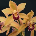 "Cymbidium ""Vivid Sunset"""