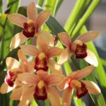 "Cymbidium ""Yesterday's Rose"""