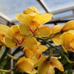 "Cymbidium ""York"""