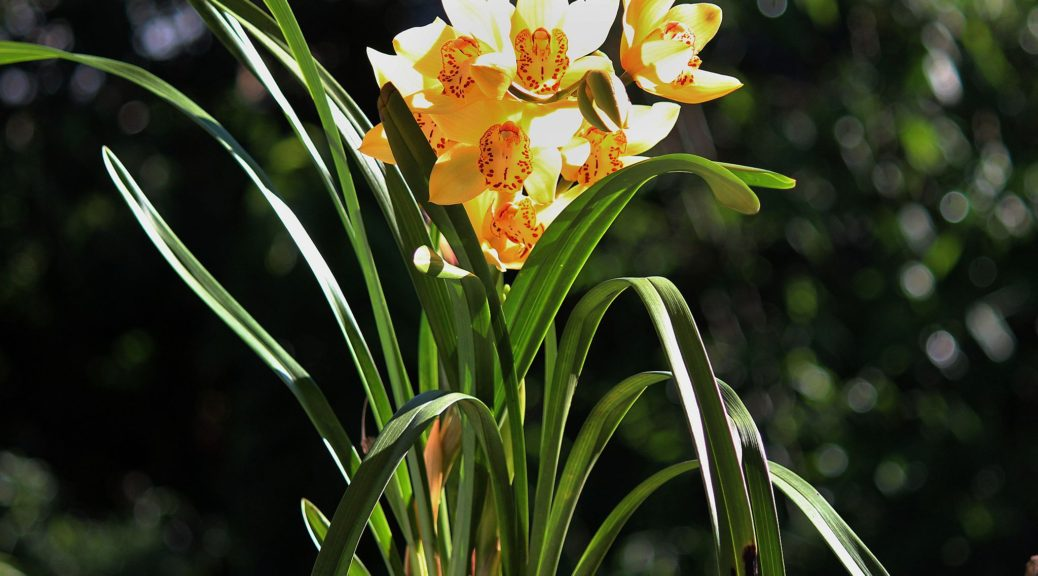 "Cymbidium ""Everglades Gold"""