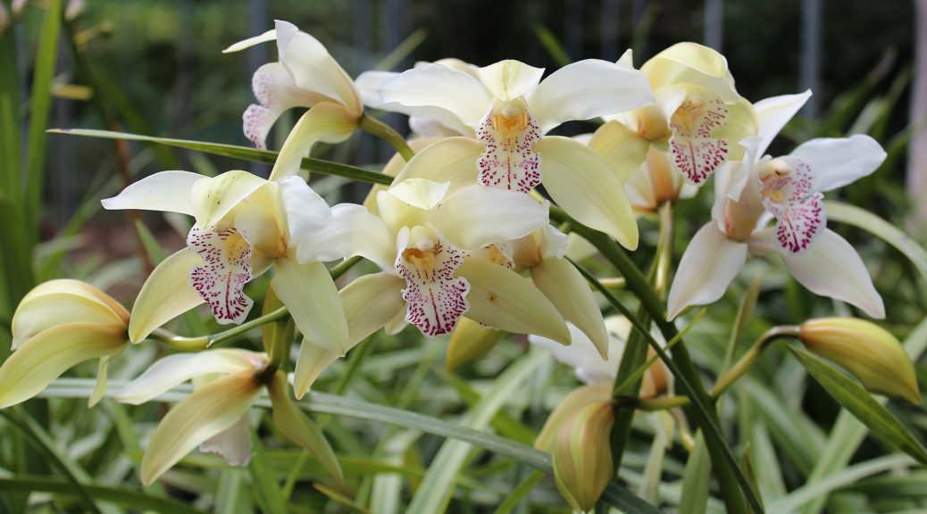 "Cymbidium ""Naples"""