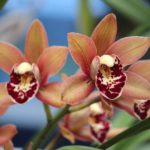 "Cymbidium ""Shining Fire"""