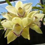 "Cymbidium ""Summer Sands"""